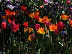 Beauty Lineup (Robert Cowlishaw (Mertonian)) Tags: colours colors lunchstroll spring2019 beauty beautiful wonder awe ineffable canonpowershotsx70hs sx70hs powershot canon robertcowlishaw 4beauty mertonian