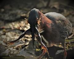 that cycle of life thing (don.white55 That's wild...) Tags: greenheronbutoridesvirescens donpwhitephotography canone0s7od tamronsp150600mmf563divcusda011 tamron150600mm prey animalseatinganimals frog nature naturecanon wildwoodlake wildwoodpark waterfowl wildlife animal birdwatching bigbird dauphincounty feathers heron benjaminolewineiiinaturecenter lens marsh outdoors pennsylvaniawildlife pennsylvania swamp skinnylegs froglegs