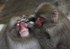 Monkey Portrait III: Grooming (courtney_meier) Tags: japan japanesemacaque jigokudani jigokudanimonkeypark naganoprefecture nationalpark valleyofhell animal grooming macaque monkey portrait primate snowmonkey wildanimal wildlife shimotakaidistrict