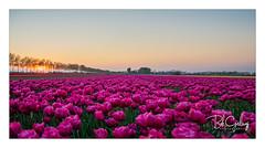 Screaming for attention (Bob Geilings) Tags: tulips flowerfield purple sunset yellow olmenhorst trees mood haarlemmermeer netherlands