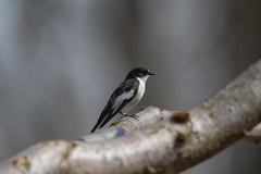 Wyre Forest-5052519 (seandarcy2) Tags: birds wildlife flycatchers pied pieflycatchers wyre forest uk wild avian summermigrants