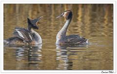 Le printemps des Grèbes huppés : toujours la parade ! (C. OTTIE et J-Y KERMORVANT) Tags: nature animaux oiseaux grèbes grèbehuppé lac suisse