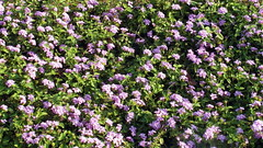 mahabalipuram pink flowers (kexi) Tags: mahabalipuram mamallapuram tamilnadu india asia pink green flowers many samsung wb690 february 2017 instantfave