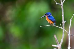 Blue-eared Kingfisher (sufw) Tags: bird kingfisher sabah kinabatanganriver alcedomeninting blueearedkingfisher malaysia borneo kotakinabatangan