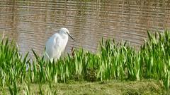 Little Egret (LouisaHocking) Tags: marazion marsh cornwall southwest england wild wildlife british nature bird wildfowl waterfowl littleegret egret