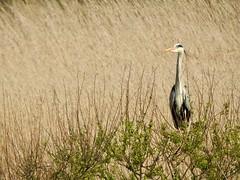 Heron (LouisaHocking) Tags: marazion marsh cornwall southwest england wild wildlife british nature bird wildfowl waterfowl heron
