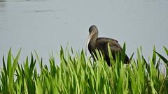 Glossy Ibis (LouisaHocking) Tags: marazion marsh cornwall southwest england wild wildlife british nature bird wildfowl waterfowl glossyibis ibis