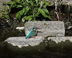 今日のカワセミさん   Kingfisher (Kazuo2010) Tags: カワセミ kingfisher 野鳥