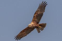 Marsh harrier (robin elliott photography) Tags: bird birds birdofprey birdsofprey birding birdwatch raptor