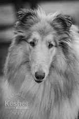 Picture of the Day (Keshet Kennels & Rescue) Tags: adoption dog ottawa ontario canada keshet large breed dogs animal animals pet pets field nature photography rough collie lassie black white portrait beautiful