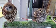 Jensen,Star and Chester (billnbenj) Tags: barrow cumbria owl tawnyowl littleowl westernscreechowl raptor birdofprey