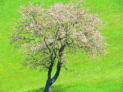 IMG_0141x (gzammarchi) Tags: italia paesaggio campagna natura montagna palazzuolosulseniofi lafaggiola valicodelparetaio albero ciliegio fiore