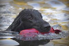 Flat Coat and Retrieving (c.marney) Tags: flat coated retriever swimming