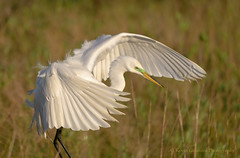 Great Egret (Kevin James54) Tags: greategret nikond850 tamron150600mm wilmington animals ardeaalba avian bird egret kevingianniniphotocom