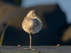 Willet (Kevin James54) Tags: catoptrophorussemipalmatus kevingiannini nikond850 tamron150600mm willet wilmington animals avian bird fortfisher kevingianniniphotocom
