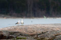 Two seagulls (JarkkoS) Tags: 70200mmf28efledvr animal bird boat boating couple d500 dragesviken finland kirkkonummi love lähteelä porkkala seagull suomenlahti tc17eii uusimaa
