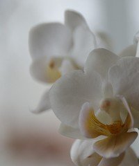 orchidée. (nicoleforget) Tags: orchidée macro jaune blanc smile saturday