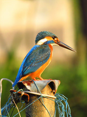 Common Kingfisher (Kingshuk Mondal) Tags: alcedo atthis common kingfisher magic light kingshukmondal kingshuk bird wildlife