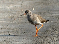 Why did chicken cross the road 16.4.19 (ericy202) Tags: common redshank summer plumage road