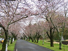 pink path 母智丘公園 (oneroadlucky) Tags: nature plant flower pink sakura japan landscape path tree
