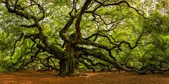 Twisted (Stephen Oachs (ApertureAcademy.com)) Tags: oak tree southcarolina angeloak charleston pano
