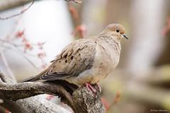 Mourning Dove (Anne Ahearne) Tags: wild bird animal nature wildlife pretty dove portrait closeup maple tree mourningdove songbird birdwatching
