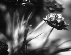 Black tulip II (Vidwatts) Tags: springflowers speedgraphic aeroektar fujiacros100 id11