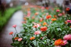 花朵具有療癒情緒的能量 (Long Tai) Tags: minolta x700 mc rokkor 58mm 112 kodak colorplus 200