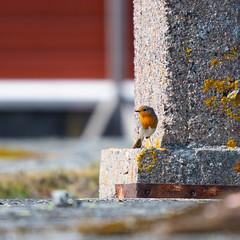 Robin (JarkkoS) Tags: 70200mmf28efledvr animal bird boat boating d500 finland porvoo punarinta robin söderskär tc17eii uusimaa