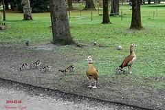 2019-03-08 à peine sortie de l'oeuf (Ezzo33) Tags: france gironde nouvelleaquitaine bordeaux ezzo33 nammour ezzat sony rx10m3 parc jardin oiseau oiseaux bird birds ouettedégypte alopochenaegyptiaca egyptiangoose
