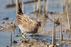 Spotted Crake (Simon Stobart - Back For Now) Tags: spotted crake porzana reeds water north east england uk