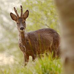 Roe Deer Buck (Gavin MacRae) Tags: roedeerbuck roebuck roedeer capreoluscapreolus deer roe velvetantlers scottishwildlife scottishnature highlandnature highlandwildlife highlandsofscotland wildlife woodlandwildlife springwildlife spring nature nikon deerintheforest deerinthewoods scotland