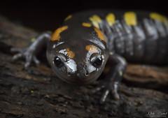 Spotted Salamander (Nick Scobel) Tags: spotted salamander ambystoma maculatum caudata amphibian spring vernal pool color night macro canon 7d mark ii spots yellow slimy