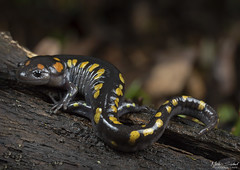 Spotted Salamander (Nick Scobel) Tags: spotted salamander ambystoma maculatum caudata amphibian spring vernal pool color night macro canon 7d mark ii spots yellow slimy