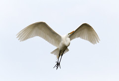 Great Egret in Flight - 04.11.19 (Lee J2) Tags: greategret ardeaalba inflight elegantheron plumage orangebill allwhite longthinlegs kiwanislakepark pennsylvania york wings