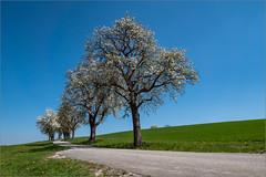 Innviertel, Österreich (ludwigrudolf232) Tags: strase wiesen felder blüte birnbäme