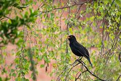 Blackbird Singing  [Explore] (Eskling) Tags: bird blackbird singing birch tree perch
