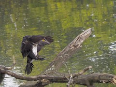 Leaping cormorant (wemery) Tags: river saltrum cormorant wildlife birds