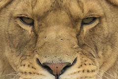 Leeuwin - Safaripark Beekse Bergen - Hilvarenbeek (Jan de Neijs Photography) Tags: dierentuin zoo tamron tamron150600 150600 dierenpark nl holland thenetherlands dieniederlande diergaarde g2 animal dier beeksebergen safaripark safariparkbeeksebergen hilvarenbeek sbb lion roofdier tamron150600g2 leeuwin eyes nose nase augen löwe noordbrabant portret portrait
