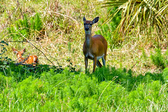 DinnerIslandRanch (38) (photomedic88) Tags: dinnerislandranchwma dinnerislandranch hendrycountyflorida hendrycounty alligator cow deer swamp everglades daviderdman floridawildlife wildlife