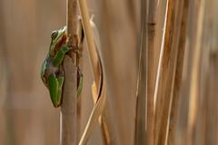 Tree frog (nikjanssen) Tags: treefrog boomkikker nature green reed riet kikker amphibian