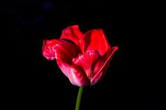 Tulpe (Jonny__B_Kirchhain) Tags: schrebergartenanlagebornholm tulpe tulip tulipe tulipa tulipán tulipano 郁金香 тюлпа́н pflanze plant plante planta 植株 植物 blüte bloom blossom florescence flower épanouissement fleuraison fleur floraison estampita flor floración florecimiento fiore fioritura floridezza 全盛时期 假钞票 процветание blume 花 花儿 花朵 цвето́к frühling spring 春 春天 春季 весна́ berlin prenzlauerberg berlinprenzlauerberg deutschland germany allemagne alemania germania 德國 德意志 федеративная республика германия alemanha repúblicafederaldaalemanha niemcy republikafederalnaniemiec