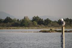 Observation matinale (Mariou Corentin) Tags: île oiseau mouette montpellier lac étangs montagne nature arbre groupe