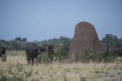 DSC_3630_1 (Marshen) Tags: termites capebuffalo zambia