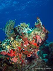 usvi 19 P3202174a sm (Pauline Walsh Jacobson) Tags: tropical marine sea life water atlantic ocean scuba diving dive seacreature coral reef underwater animal usvirginislands virginislands stthomas stjohn usvi vi caribbean pauline walsh jacobson