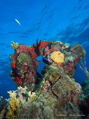 usvi 19 P3202170a sm (Pauline Walsh Jacobson) Tags: tropical marine sea life water atlantic ocean scuba diving dive seacreature coral reef underwater animal usvirginislands virginislands stthomas stjohn usvi vi caribbean pauline walsh jacobson
