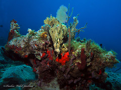 usvi 19 P3202125a sm (Pauline Walsh Jacobson) Tags: tropical marine sea life water atlantic ocean scuba diving dive seacreature coral reef underwater animal usvirginislands virginislands stthomas stjohn usvi vi caribbean pauline walsh jacobson