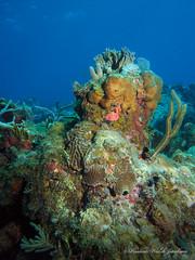 usvi 19 P3202122a sm (Pauline Walsh Jacobson) Tags: tropical marine sea life water atlantic ocean scuba diving dive seacreature coral reef underwater animal usvirginislands virginislands stthomas stjohn usvi vi caribbean pauline walsh jacobson