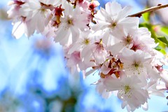 Cherry blossoms and blue skies (helensaarinen) Tags: macro happiness floral spring bluesky cherryblossoms