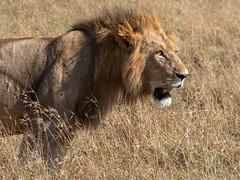 Male Lion (eric hughes 2014) Tags: lion male massaimara kenya africa safari northconservancy canon 7dmarkii 70200mmf28ii 2019